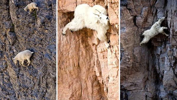 Aceste capre sunt nebune! Se caţără pe munţi mai ceva ca alpiniştii
