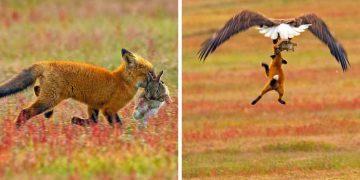 lupta vulpe vultur