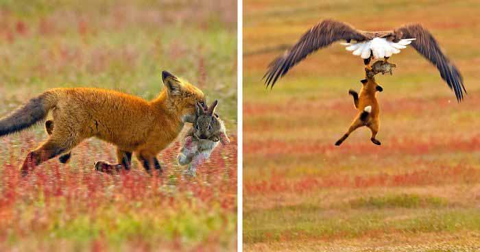 Un fotograf surprinde o luptă incredibilă pentru un iepure, între o vulpe şi un vultur