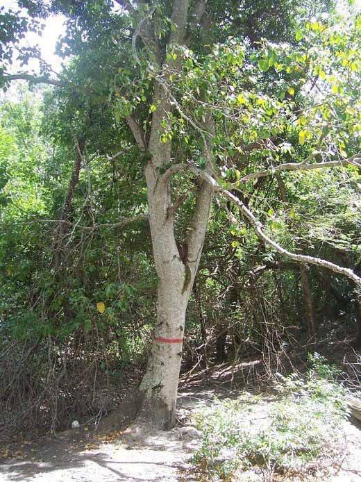 copacul mortii