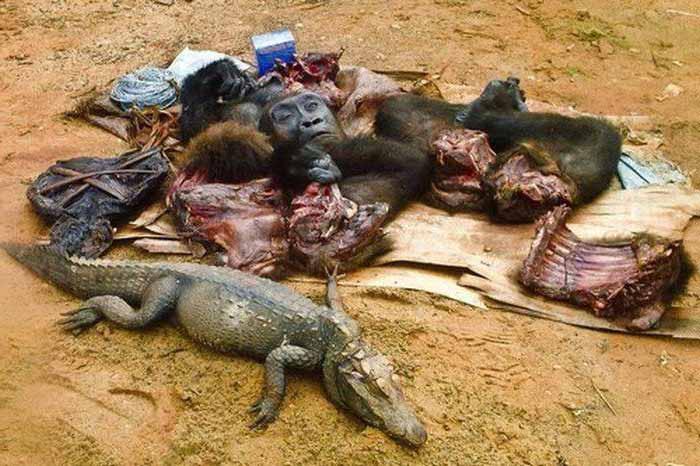 animale salbatice gatite