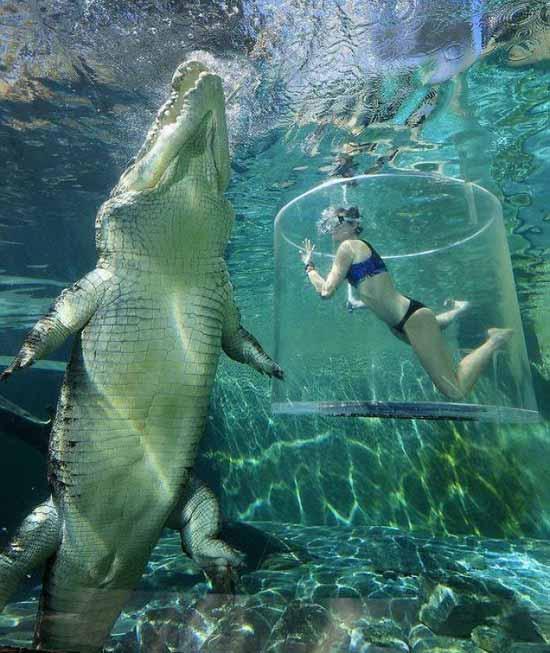 crocodil de apă sărată