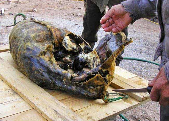 pasari moarte in carcasa de foca