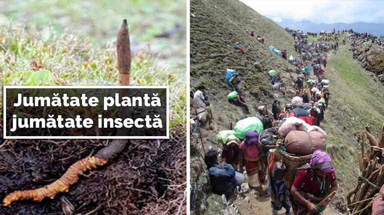 50% insectă, 50% plantă | Ciuperca vierme, mai scumpă decât aurul