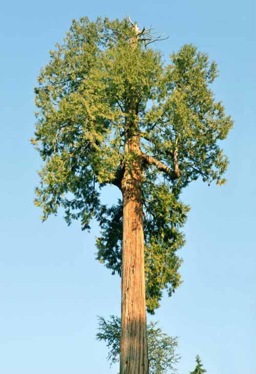 copac urias furat