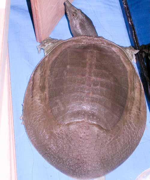 testoasa cu carapace moale