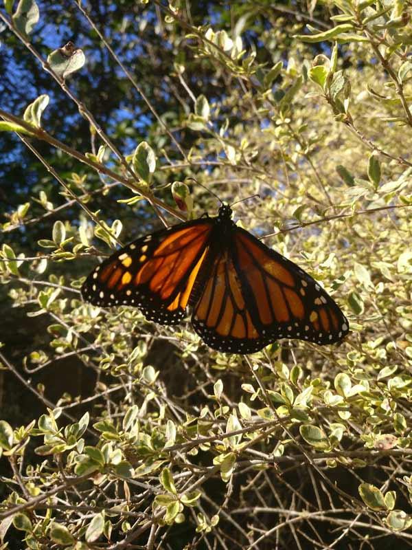 fluture cu aripa ruptă