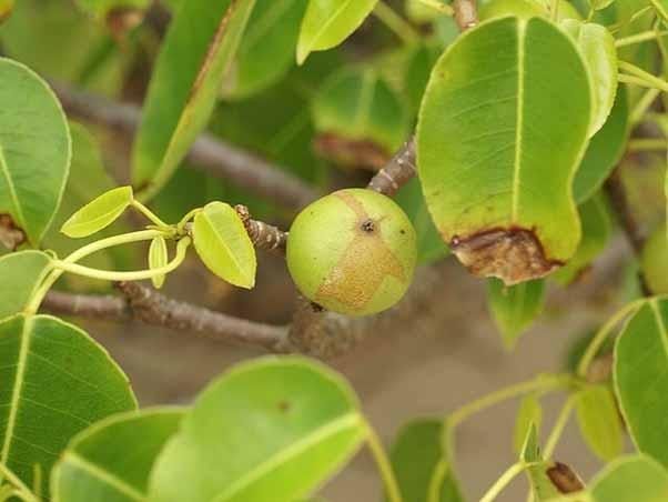 copacul mortii fruct