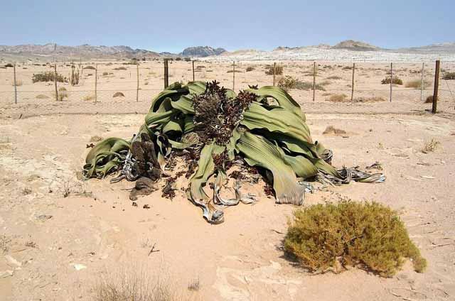 Welwitschiamirabilis