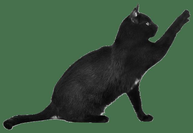 pisica de casa