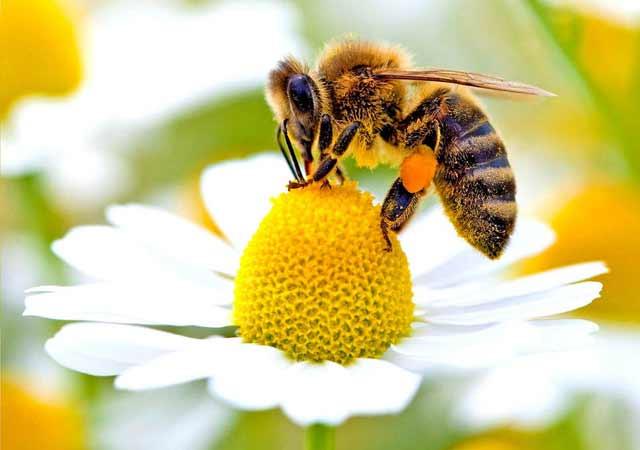 ce se intampla daca dispar albinele