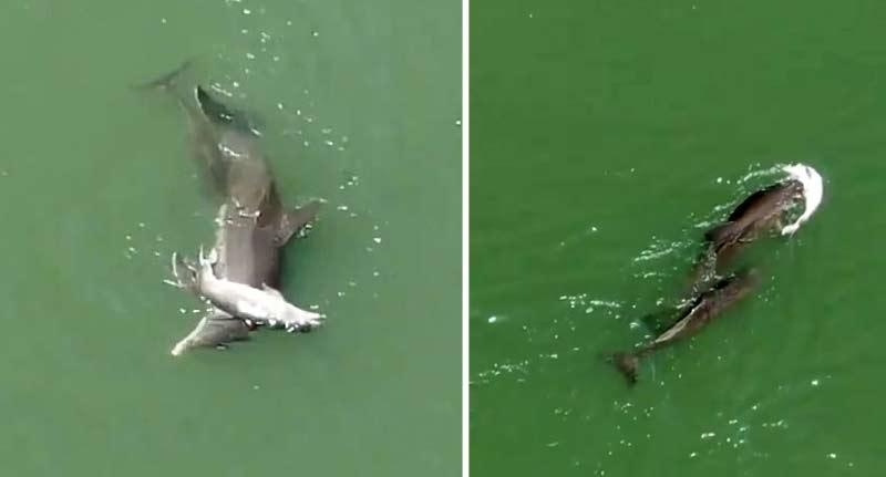 mamă delfin îşi împinge puiul mort