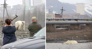 urs polar înfometat
