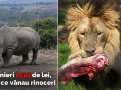 braconieri au fost mâncaţi de lei
