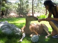 căprioară sălbatică rănită