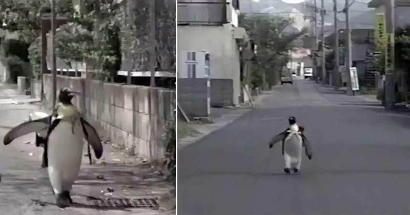 pinguin merge la magazin