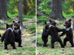 ursuleţi care dansează