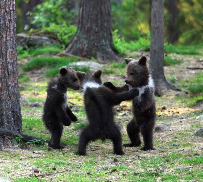ursuleti dansatori