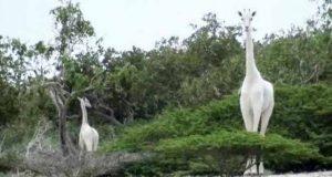 girafă albă