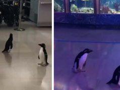 pinguini lăsaţi liberi prin acvariu