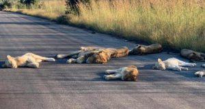 lei dorm pe mijlocul drumului
