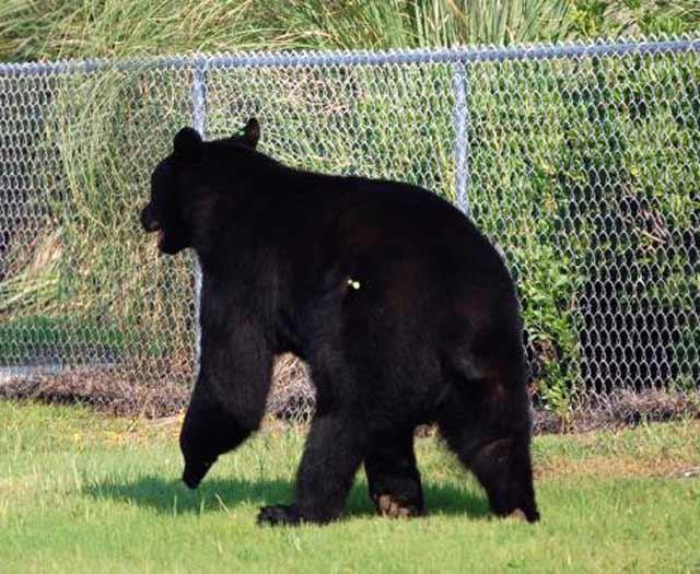 urs impuscat